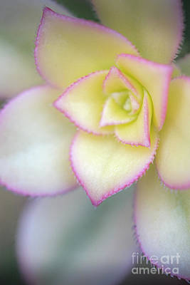 Photograph - Flowering Plant by David Zanzinger