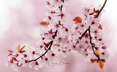 Photograph - Flowering Plum Tree Macro by Nick Boren