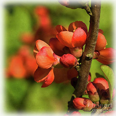 Digital Art - Flowering Quince by Liz Alderdice