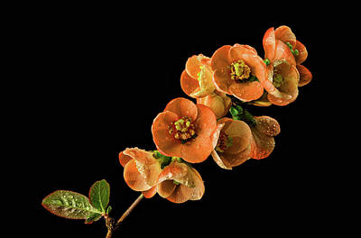 Print featuring the photograph Flowering Quince Orange by Mary Jo Allen
