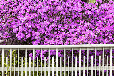 Photograph - Flowering Rhododendron by Alan L Graham