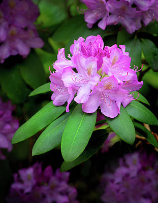 Photograph - Flowering Rhododendron by Carolyn Derstine