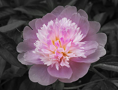 Flowering Spring Peony In Pink And Grey Art Print by Garth Glazier