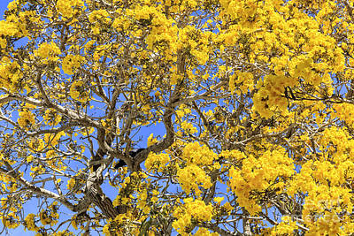 Photograph - Flowering Tabebuias Tree by Edward Fielding