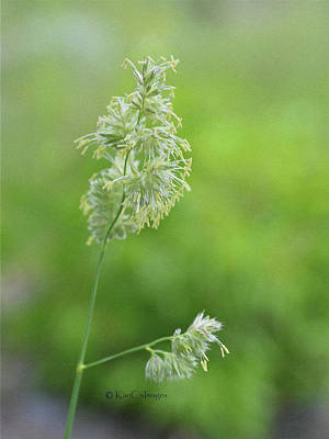 Photograph - Flowering Tall Grass by Kae Cheatham