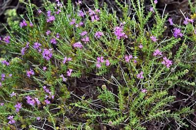 Flowering Thyme Original