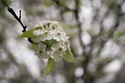 Photograph - Flowering Tree by Jennifer Ancker