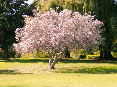 Photograph - Flowering Tree by Mark Barclay