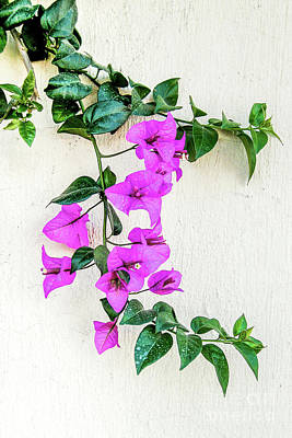 Photograph - Flowering Vine On A Mexican Wall by David Perry Lawrence