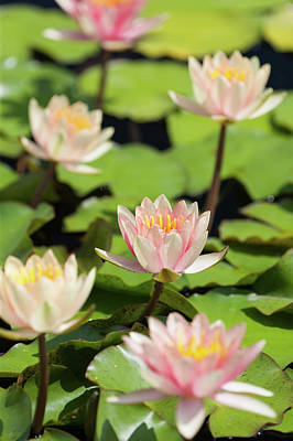 Photograph - Flowering Water Lilies by Bernard Lynch