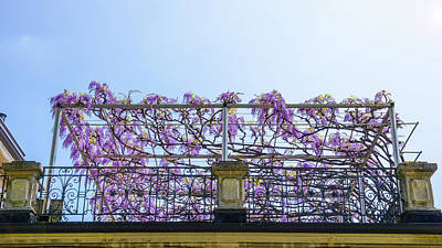 Photograph - Flowering Wisteria Plants  by Alexandre Rotenberg