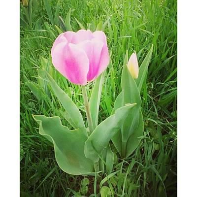 Shy Pink Tulip Original