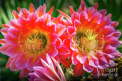 Photograph - Flowers Closeup Clustered Symmetrical by David Zanzinger