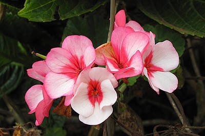 Photograph - Flowers Of Pink And White by Bob Slitzan