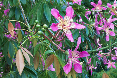 Photograph - Flowers Of Silk Floss Tree by Ram Vasudev
