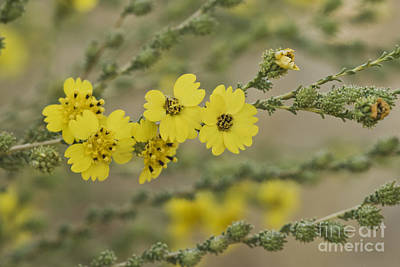 Fiddleneck Photograph - Flowers Of Tarweed by Inga Spence