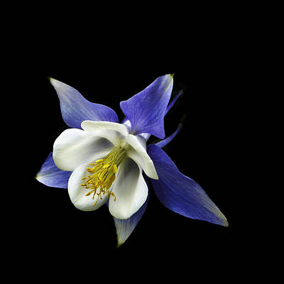 Photograph - flowers - photography - Columbine On Black -  by Ann Powell
