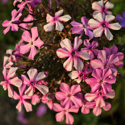 Photograph - flowers- photography - Pink Phlox by Ann Powell