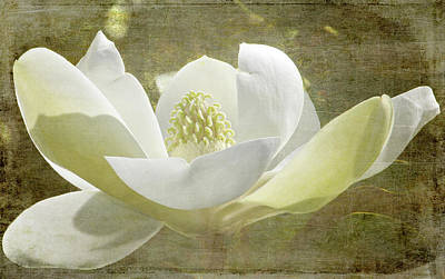 Photograph - Flowers - Sweet Magnolia by HH Photography of Florida