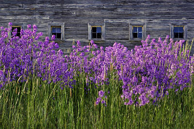 Photograph - Flowers - Windows In Weathered Barn - 2 by Nikolyn McDonald