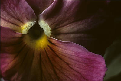 Laura Davis Wall Art - Photograph - Flowerscape Pansy One by Laura Davis