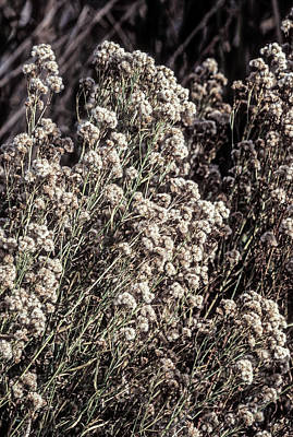 Photograph - Fluff And Seeds by John Brink