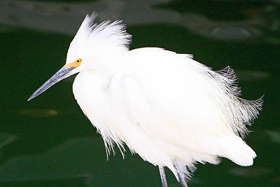 Photograph - Fluffed Up Egret by Shoal Hollingsworth