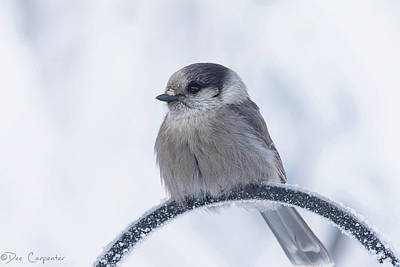 Photograph - Fluffed Up Gray Jay by Dee Carpenter