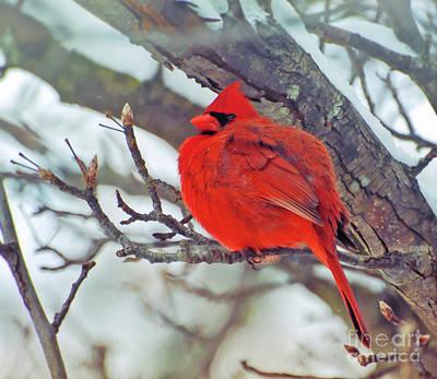 Cardinal Photograph - Fluffed Up Male Cardinal by Kerri Farley