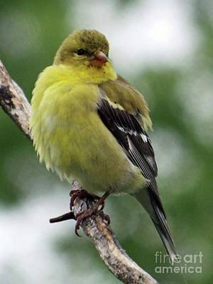 Summer Trends 18 - Fluffy - American Goldfinch by Cindy Treger
