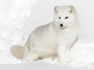 Photograph - Fluffy Arctic White Fox by Athena Mckinzie