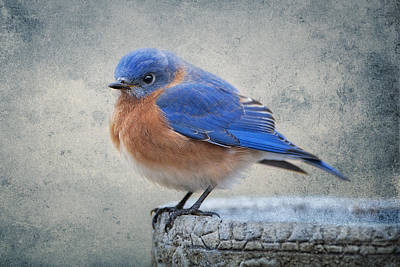 Fluffy Bluebird Original by Bonnie Barry