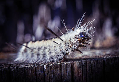 Photograph - Fluffy Caterpillar 2 by Lilia D