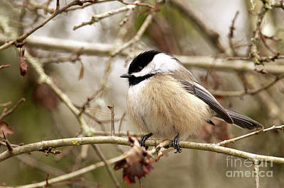 Photograph - Fluffy Chickadee by Sharon Talson