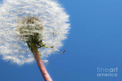 Photograph - Fluffy Dandelion Against Blue Sky by Nina Ficur Feenan