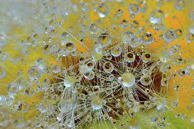 Fluffy Dandelion In The Droplets Of Rain  Original by Yuri Hope