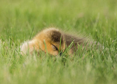 Photograph - Fluffy Gosling #2 by Patti Deters