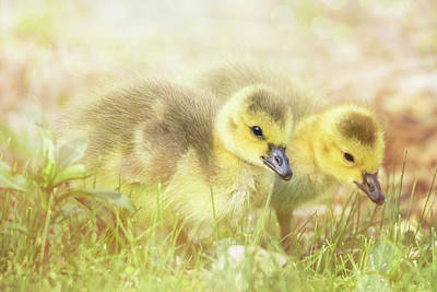 Photograph - Fluffy Gosling Chicks #3 by Patti Deters