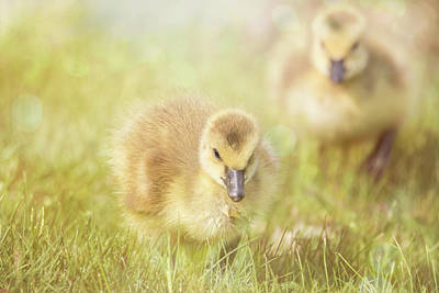 Photograph - Fluffy Gosling Chicks #5 by Patti Deters