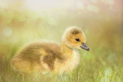 Photograph - Fluffy Gosling #3 by Patti Deters
