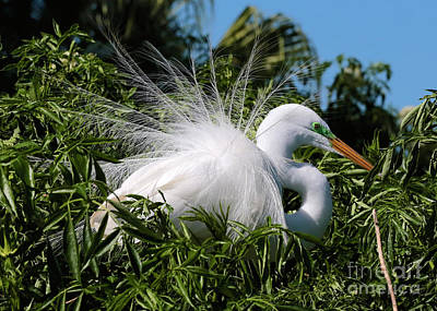 Photograph - Fluffy Great Egret by Carol Groenen