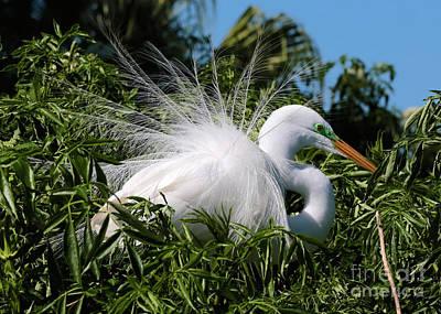 Photograph - Fluffy Great Egret by Carol Groenen