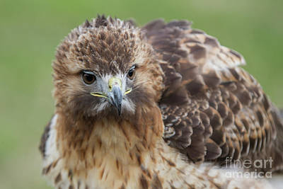 Photograph - Fluffy Hawk by Chris Scroggins