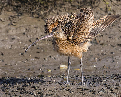 Long-billed Curlew Photograph - Fluffy Long-billed Curlew by Morris Finkelstein