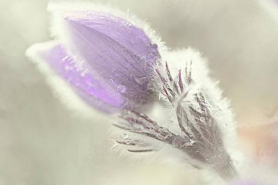 Pulsatilla Photograph - Fluffy Marvel by Jenny Rainbow