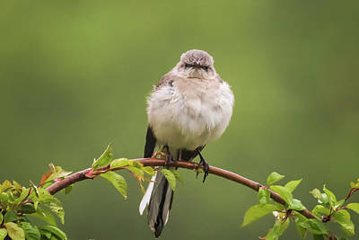 Photograph - Fluffy Mockingbird by Terry DeLuco