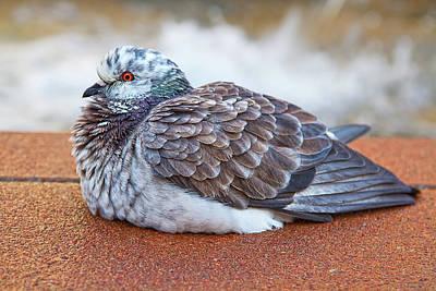 Fluffy Pigeon Art Print