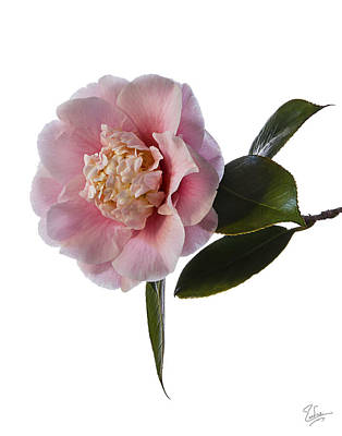 Photograph - Fluffy Pink Camellia by Endre Balogh