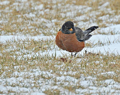 Photograph - Fluffy Robin In Snow by Kathy M Krause