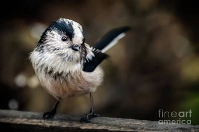 Photograph - Fluffy The Long-tailed Tit  by Adrian Evans